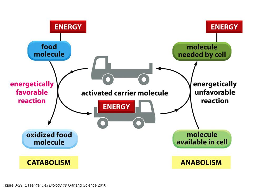 Figure 3-29 Essential Cell Biology (© Garland Science 2010)