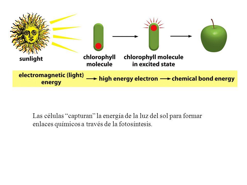 Las células capturan la energía de la luz del sol para formar enlaces químicos a través de la fotosíntesis.