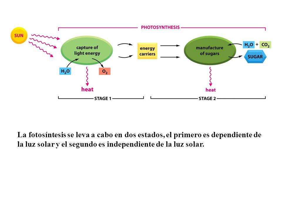 La fotosíntesis se leva a cabo en dos estados, el primero es dependiente de la luz solar y el segundo es independiente de la luz solar.
