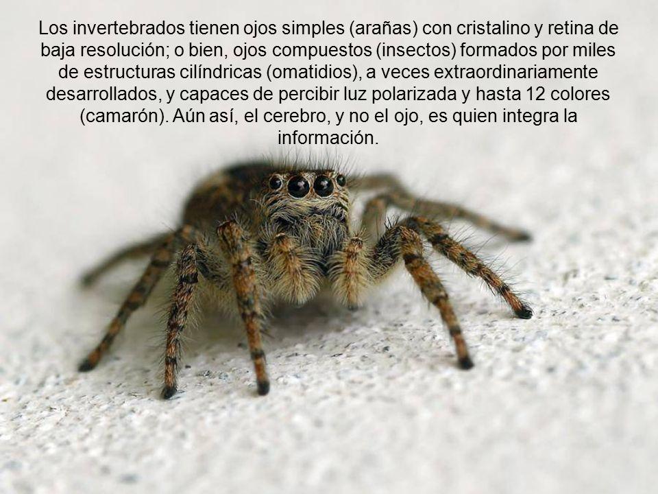 Aún entre los insectos y los arácnidos que se supone son parientes, hay ojos compuestos, en diferente número (2 a 8) y con sistemas ópticos diferentes, por lo que no pudieron evolucionar unos de otros.