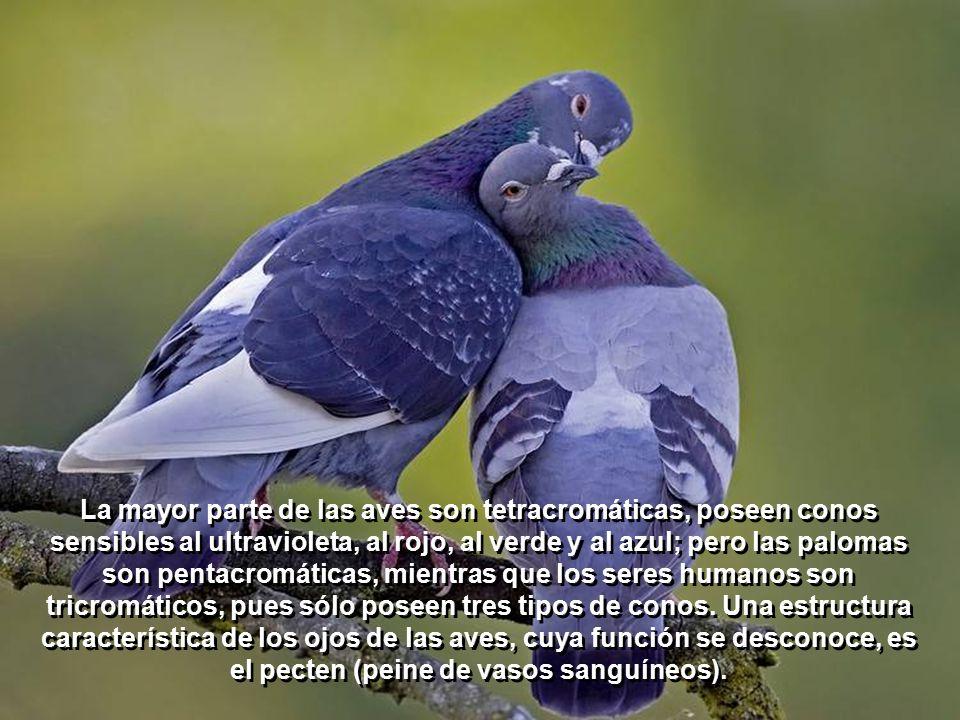 En las aves, el tamaño del ojo es proporcionalmente más grande que en los mamíferos, y la acomodación tiene lugar mediante un doble mecanismo que permite cambiar la curvatura de la córnea y del cristalino.