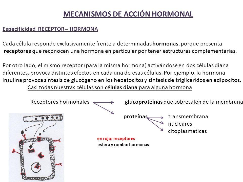 MECANISMOS DE ACCIÓN HORMONAL Especificidad RECEPTOR – HORMONA Cada célula responde exclusivamente frente a determinadas hormonas, porque presenta receptores que reconocen una hormona en particular por tener estructuras complementarias.