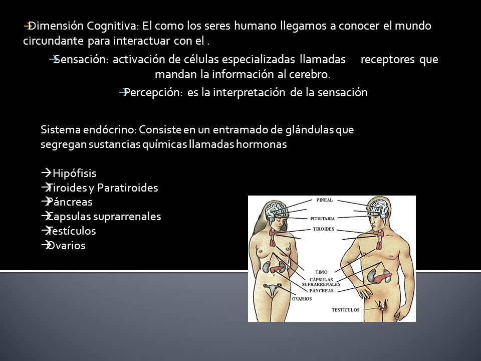  Dimensión Cognitiva: El como los seres humano llegamos a conocer el mundo circundante para interactuar con el.