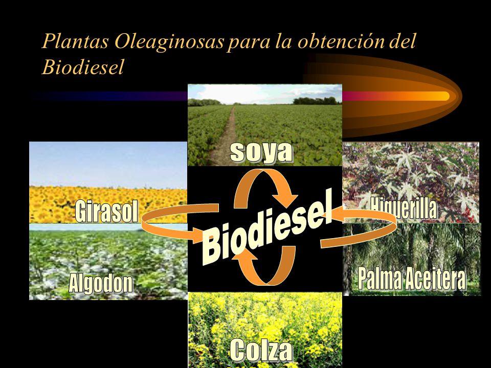 Plantas Oleaginosas para la obtención del Biodiesel