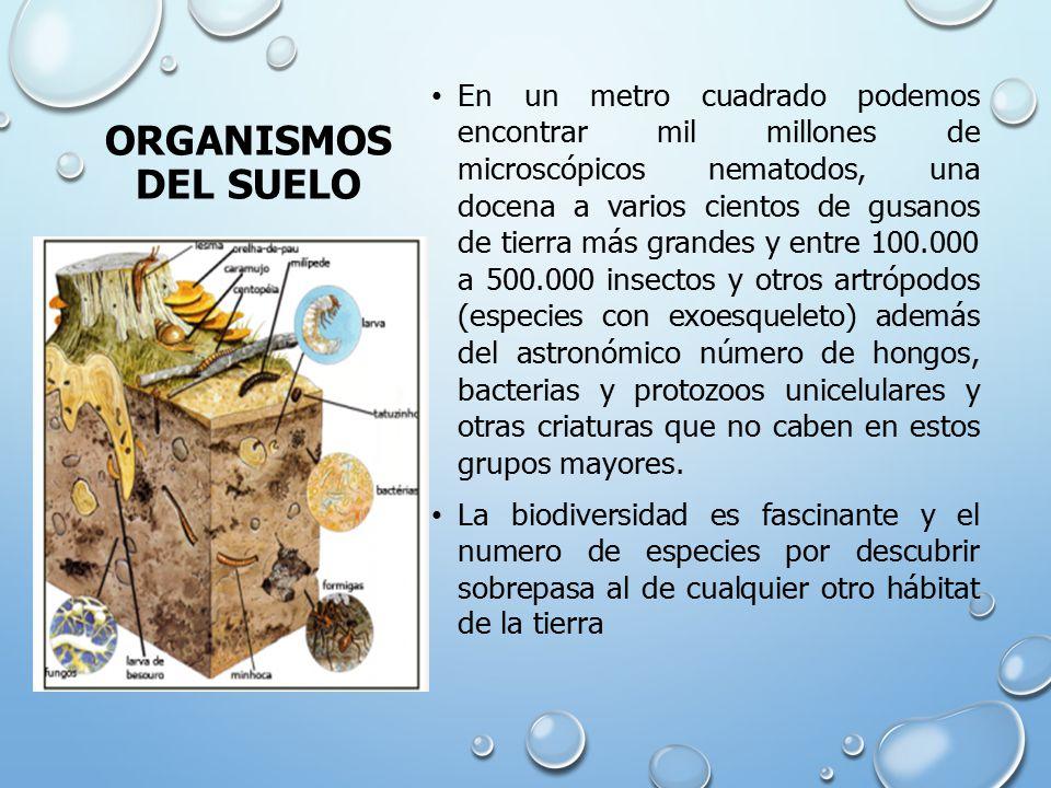ORGANISMOS DEL SUELO En un metro cuadrado podemos encontrar mil millones de microscópicos nematodos, una docena a varios cientos de gusanos de tierra más grandes y entre 100.000 a 500.000 insectos y otros artrópodos (especies con exoesqueleto) además del astronómico número de hongos, bacterias y protozoos unicelulares y otras criaturas que no caben en estos grupos mayores.