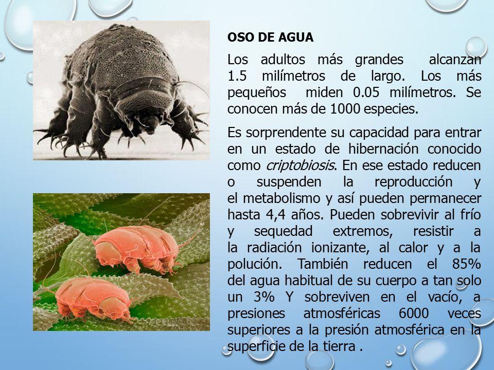 OSO DE AGUA Los adultos más grandes alcanzan 1.5 milímetros de largo.