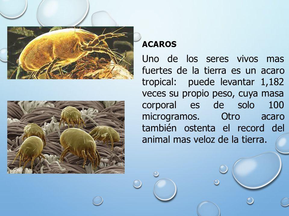 ACAROS Uno de los seres vivos mas fuertes de la tierra es un acaro tropical: puede levantar 1,182 veces su propio peso, cuya masa corporal es de solo 100 microgramos.