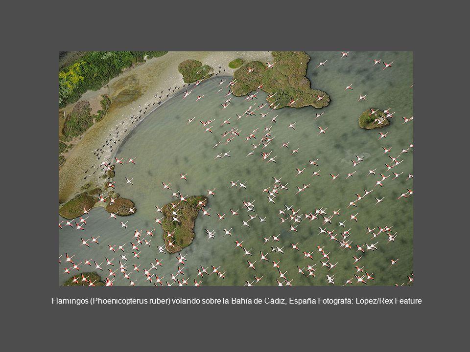 Flamingos (Phoenicopterus ruber) volando sobre la Bahía de Cádiz, España Fotografá: Lopez/Rex Feature