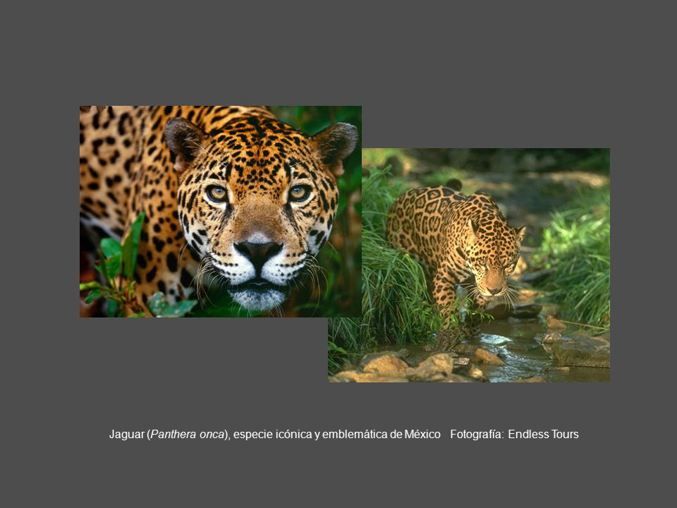 Jaguar (Panthera onca), especie icónica y emblemática de México Fotografía: Endless Tours