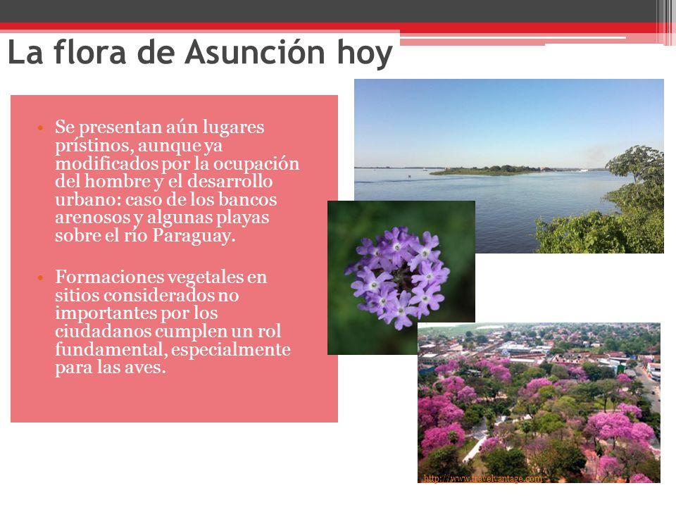La flora de Asunción hoy Se presentan aún lugares prístinos, aunque ya modificados por la ocupación del hombre y el desarrollo urbano: caso de los bancos arenosos y algunas playas sobre el río Paraguay.