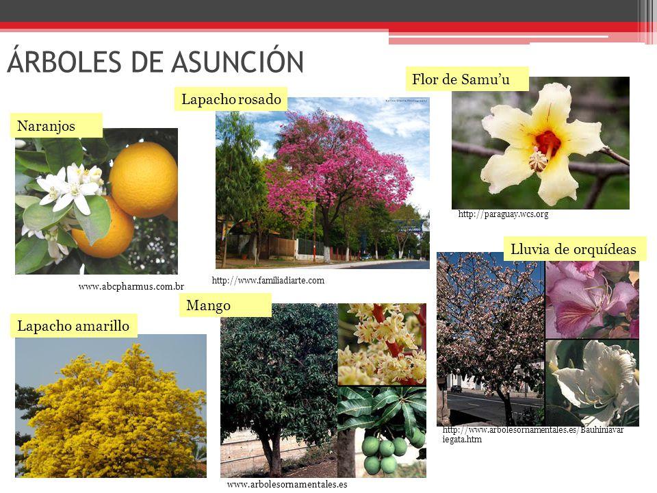 ÁRBOLES DE ASUNCIÓN http://www.familiadiarte.com Flor de Samu'u http://paraguay.wcs.org Lapacho rosado http://www.arbolesornamentales.es/Bauhiniavar iegata.htm Lluvia de orquídeas www.arbolesornamentales.es Mango www.abcpharmus.com.br Naranjos Lapacho amarillo