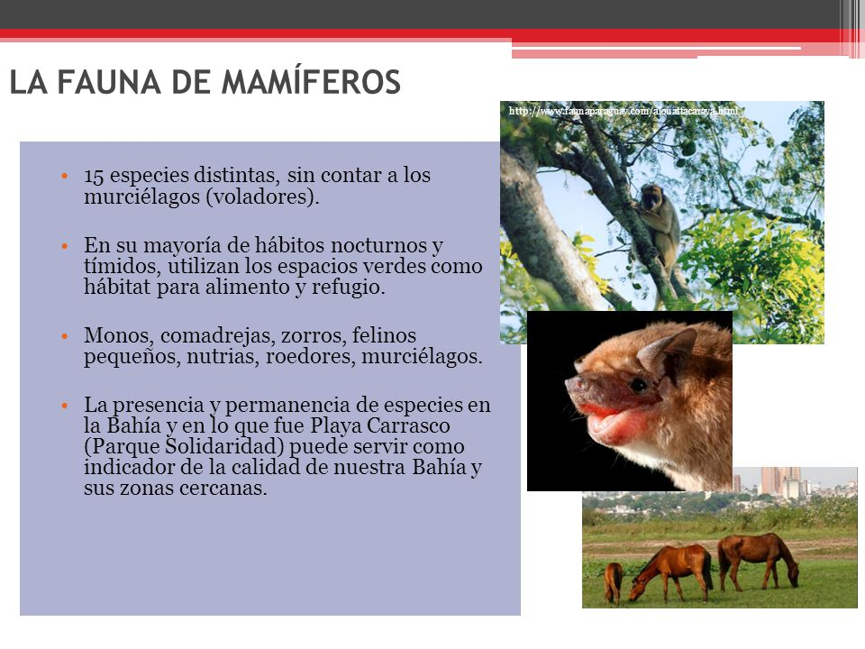 LA FAUNA DE MAMÍFEROS 15 especies distintas, sin contar a los murciélagos (voladores).