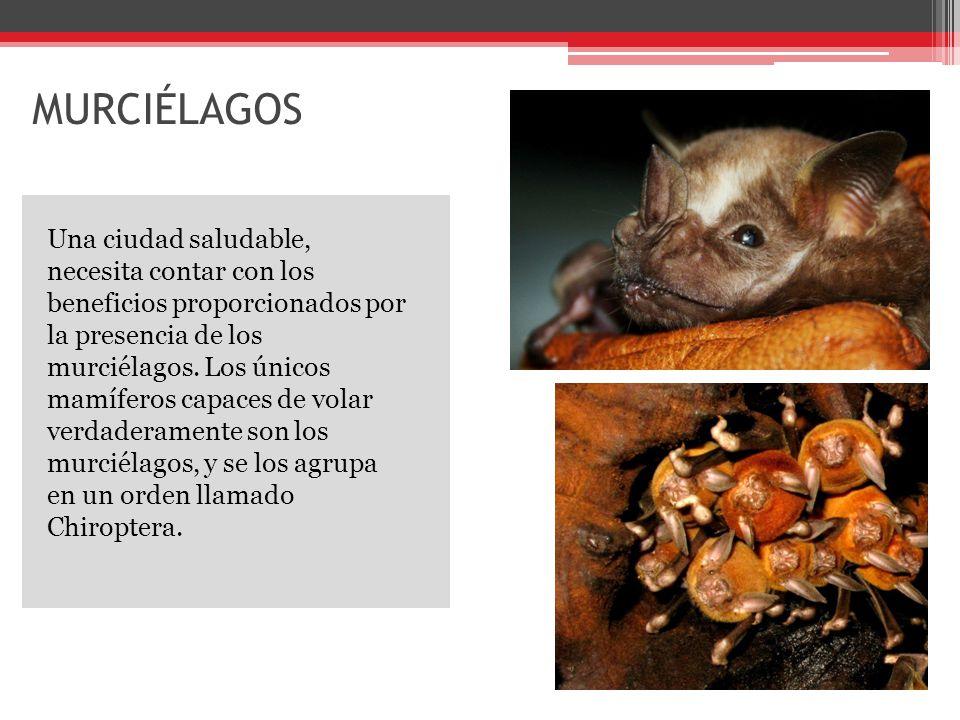 MURCIÉLAGOS Una ciudad saludable, necesita contar con los beneficios proporcionados por la presencia de los murciélagos.
