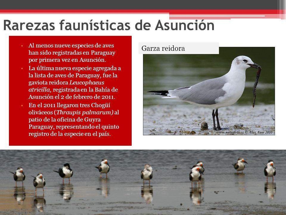 Rarezas faunísticas de Asunción Al menos nueve especies de aves han sido registradas en Paraguay por primera vez en Asunción.