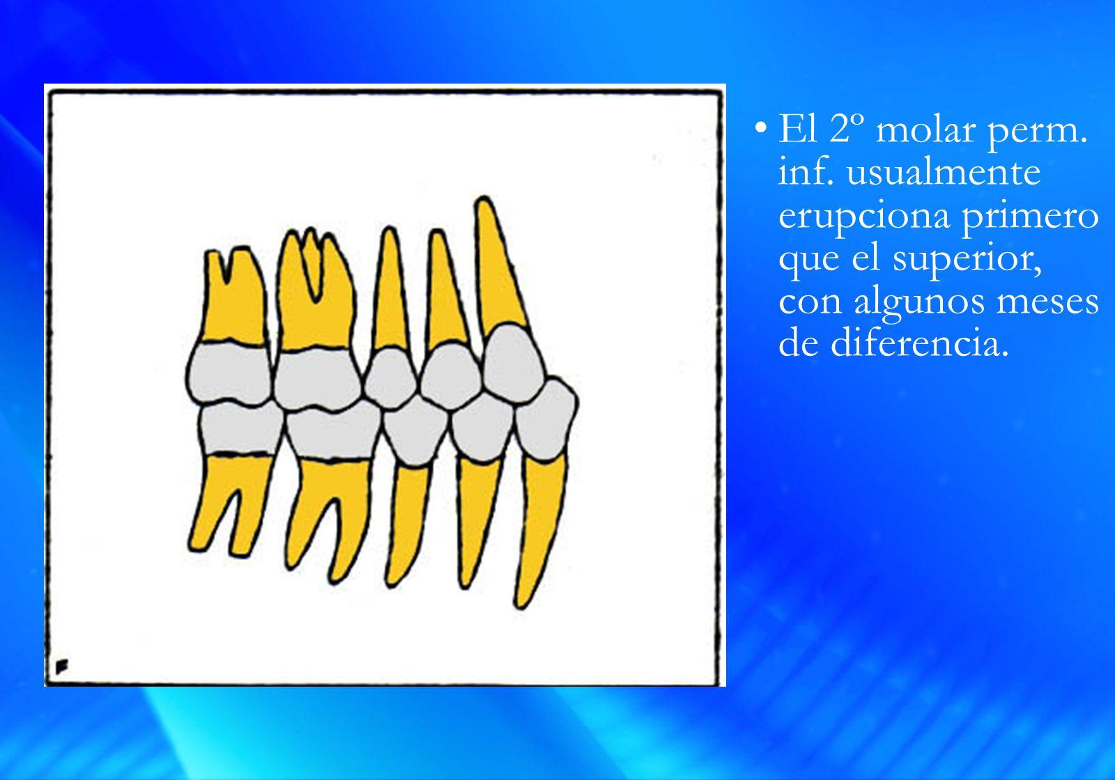 El 2º molar perm. inf.