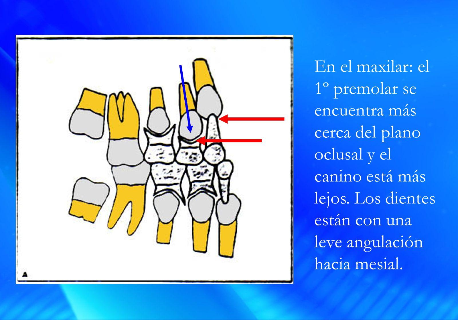 En el maxilar: el 1º premolar se encuentra más cerca del plano oclusal y el canino está más lejos.