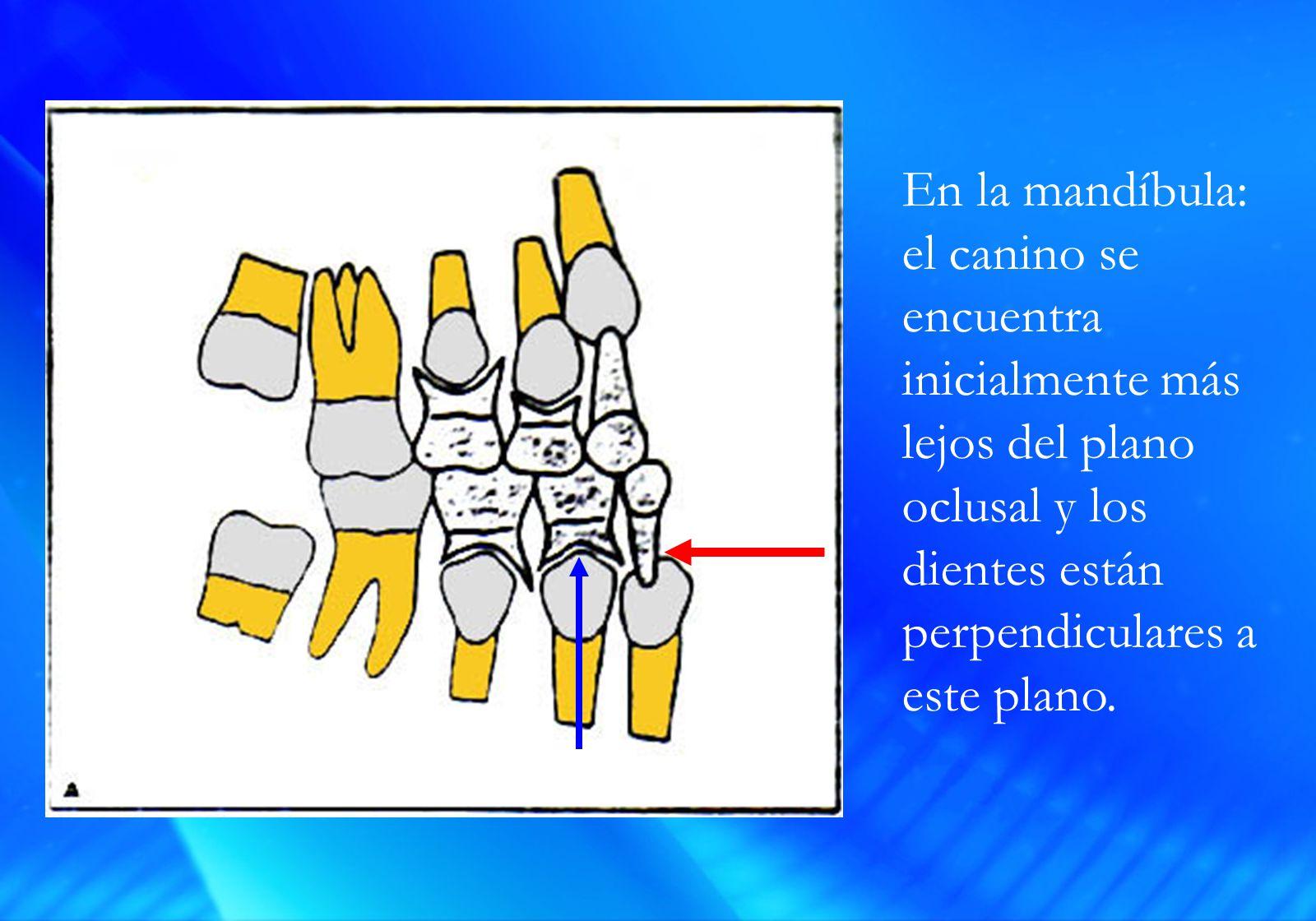 En la mandíbula: el canino se encuentra inicialmente más lejos del plano oclusal y los dientes están perpendiculares a este plano.