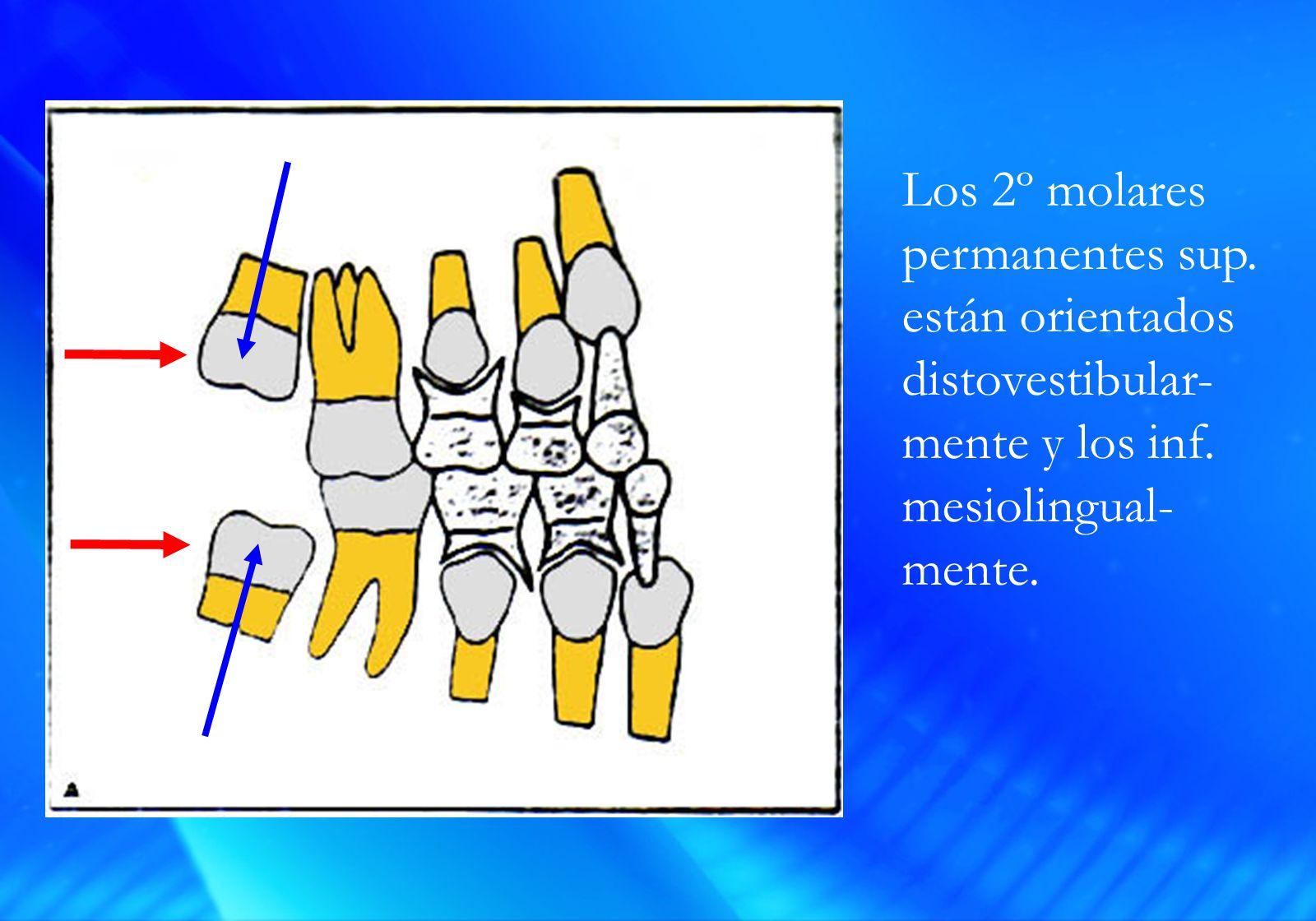 Los 2º molares permanentes sup. están orientados distovestibular- mente y los inf.