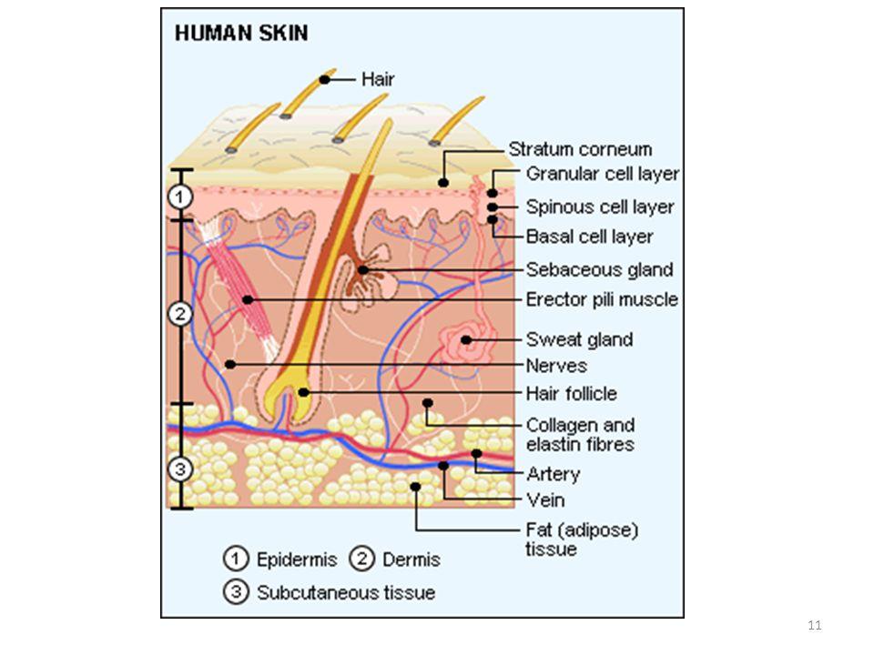 Estructura y función de la dermis Tejido subcutaneo=hipodermis 12
