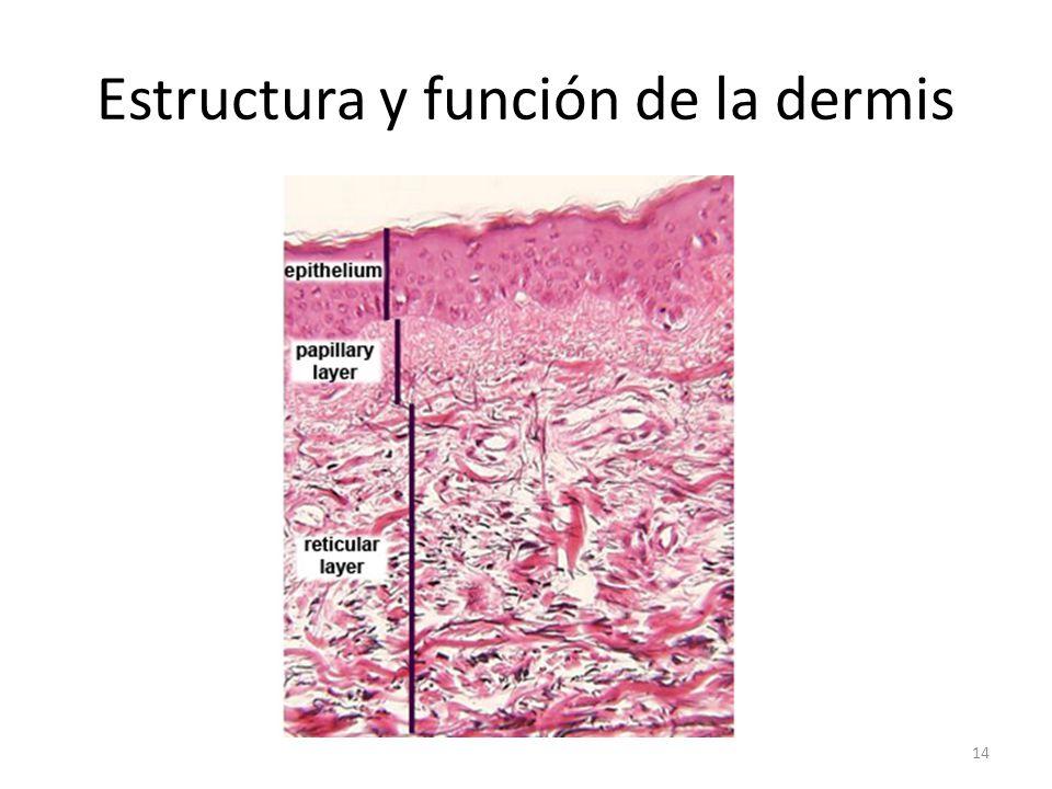 Estructura y función de la dermis 14