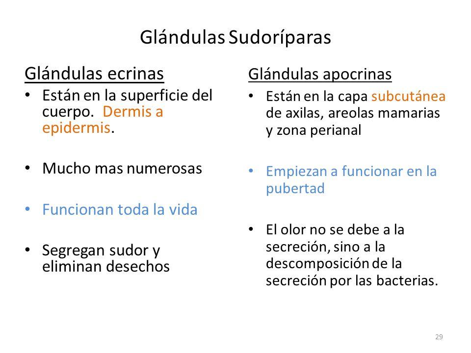Glándulas Sudoríparas Glándulas ecrinas Están en la superficie del cuerpo.