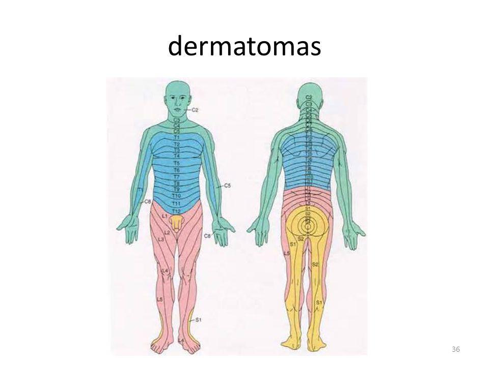 dermatomas 36