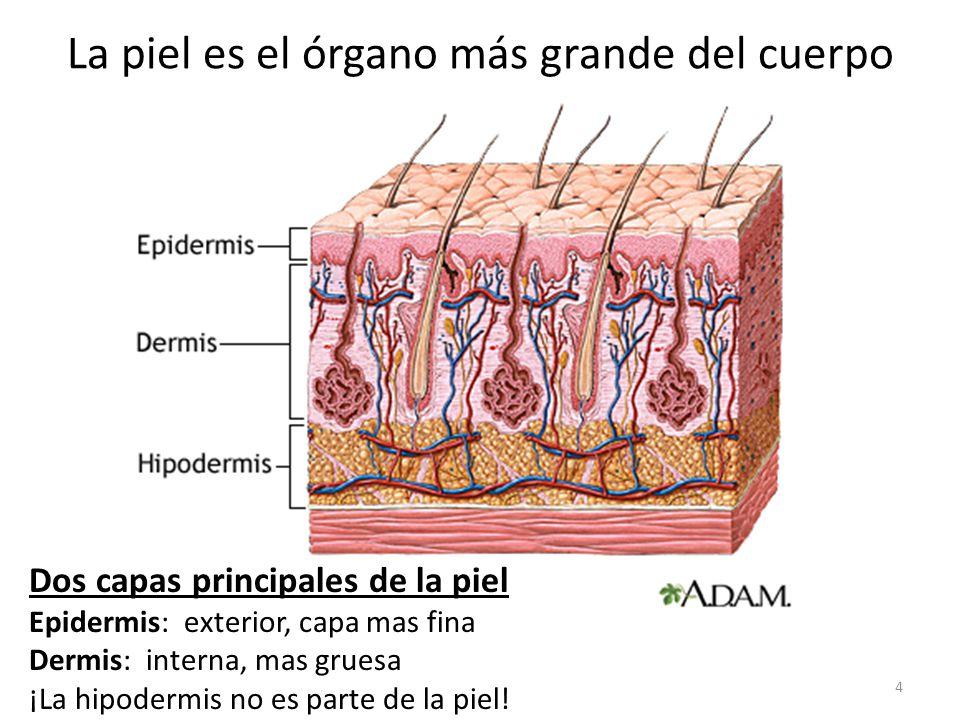 La piel es el órgano más grande del cuerpo Dos capas principales de la piel Epidermis: exterior, capa mas fina Dermis: interna, mas gruesa ¡La hipodermis no es parte de la piel.