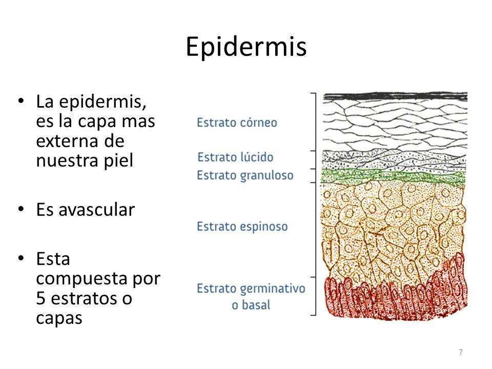 Epidermis La epidermis, es la capa mas externa de nuestra piel Es avascular Esta compuesta por 5 estratos o capas 7