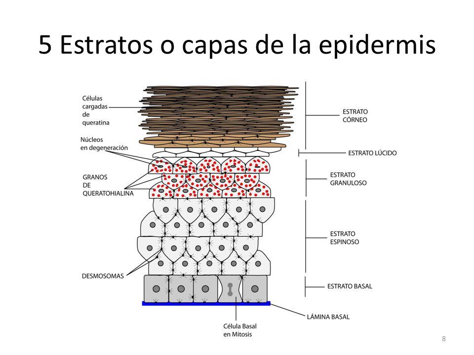 5 Estratos o capas de la epidermis 8