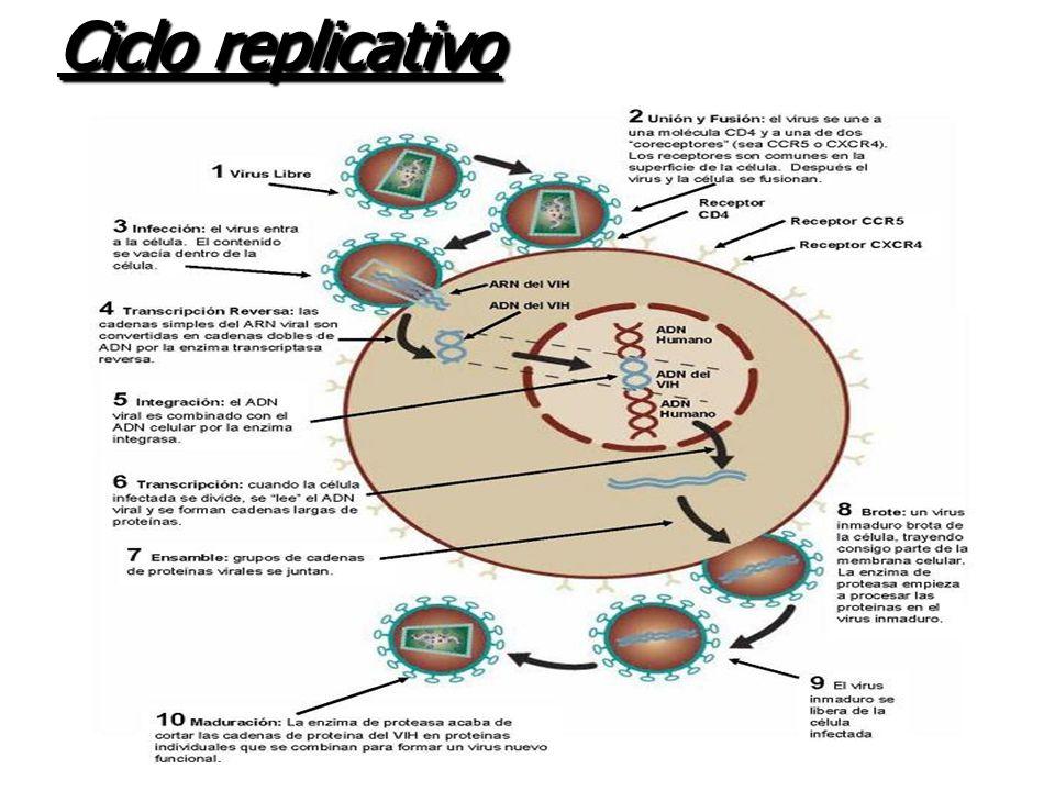 El HIV pertenece a la familia Retroviridae debido a la presencia de una enzima característica de los retrovirus denominada Transcriptasa Inversa (convierte su ARN en ADN para replicarse) Los retrovirus son capaces de integrar el genoma de las células como provirus .