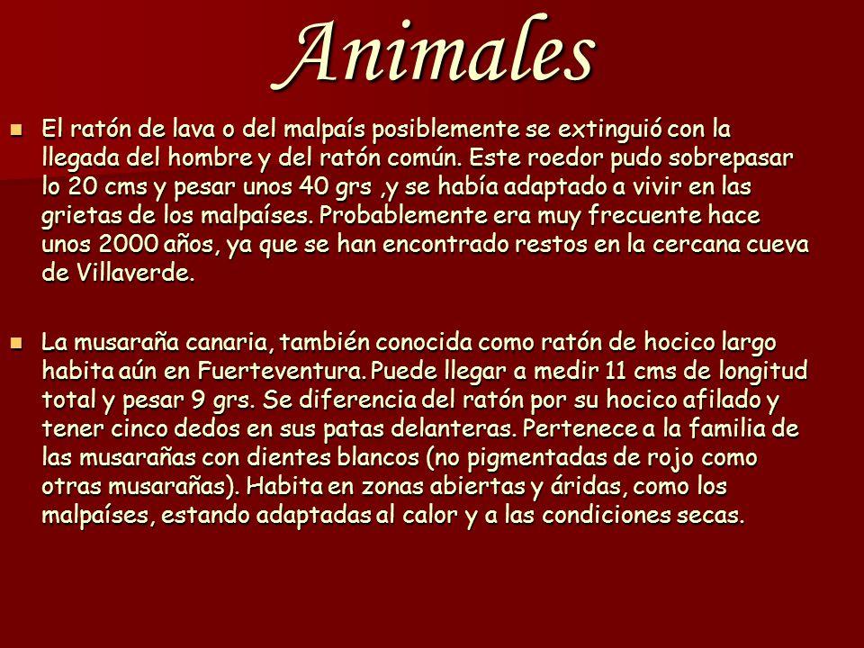 Animales El ratón de lava o del malpaís posiblemente se extinguió con la llegada del hombre y del ratón común.