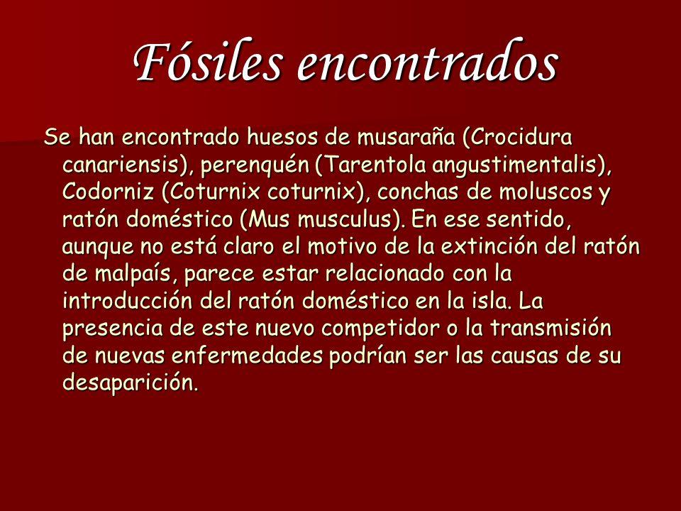 Fósiles encontrados Se han encontrado huesos de musaraña (Crocidura canariensis), perenquén (Tarentola angustimentalis), Codorniz (Coturnix coturnix), conchas de moluscos y ratón doméstico (Mus musculus).