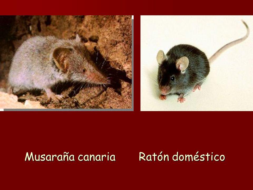 Musaraña canaria Ratón doméstico