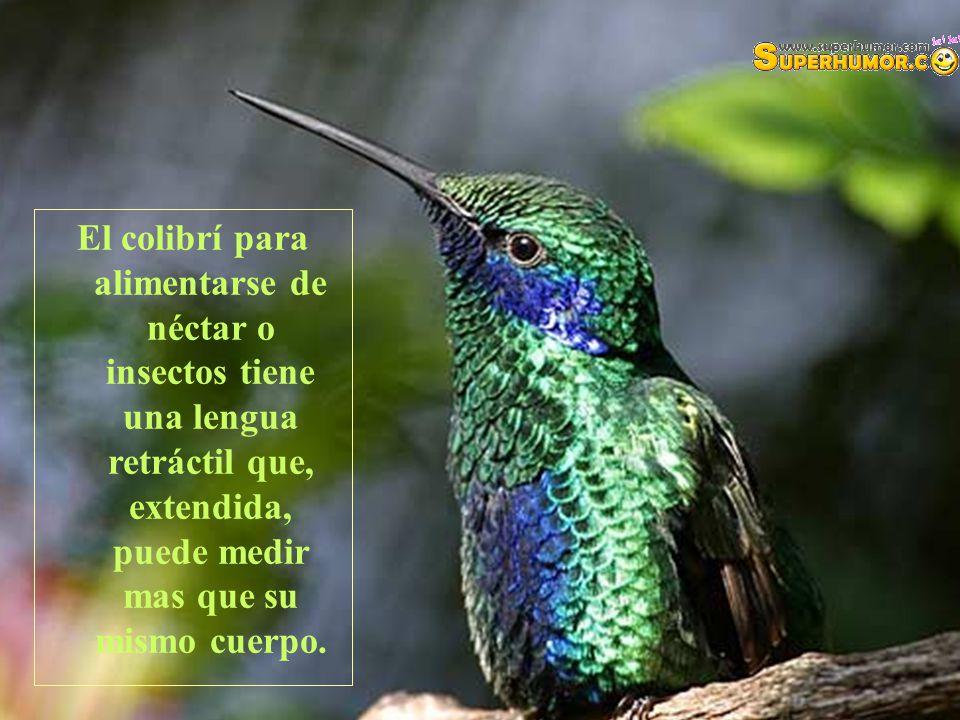 El colibrí para alimentarse de néctar o insectos tiene una lengua retráctil que, extendida, puede medir mas que su mismo cuerpo.