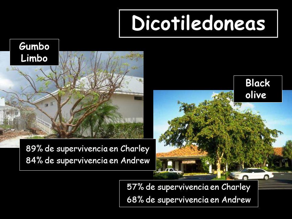 Dicotiledoneas 57% de supervivencia en Charley 68% de supervivencia en Andrew 89% de supervivencia en Charley 84% de supervivencia en Andrew Black olive Gumbo Limbo