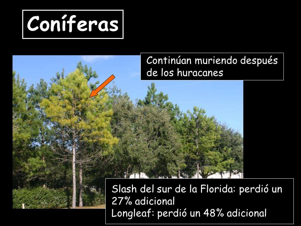 Coníferas Continúan muriendo después de los huracanes Slash del sur de la Florida: perdió un 27% adicional Longleaf: perdió un 48% adicional