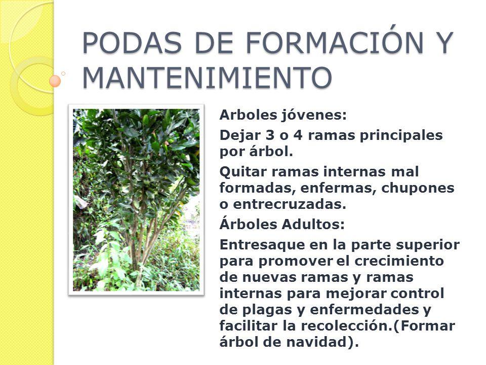 PODAS DE FORMACIÓN Y MANTENIMIENTO Arboles jóvenes: Dejar 3 o 4 ramas principales por árbol.