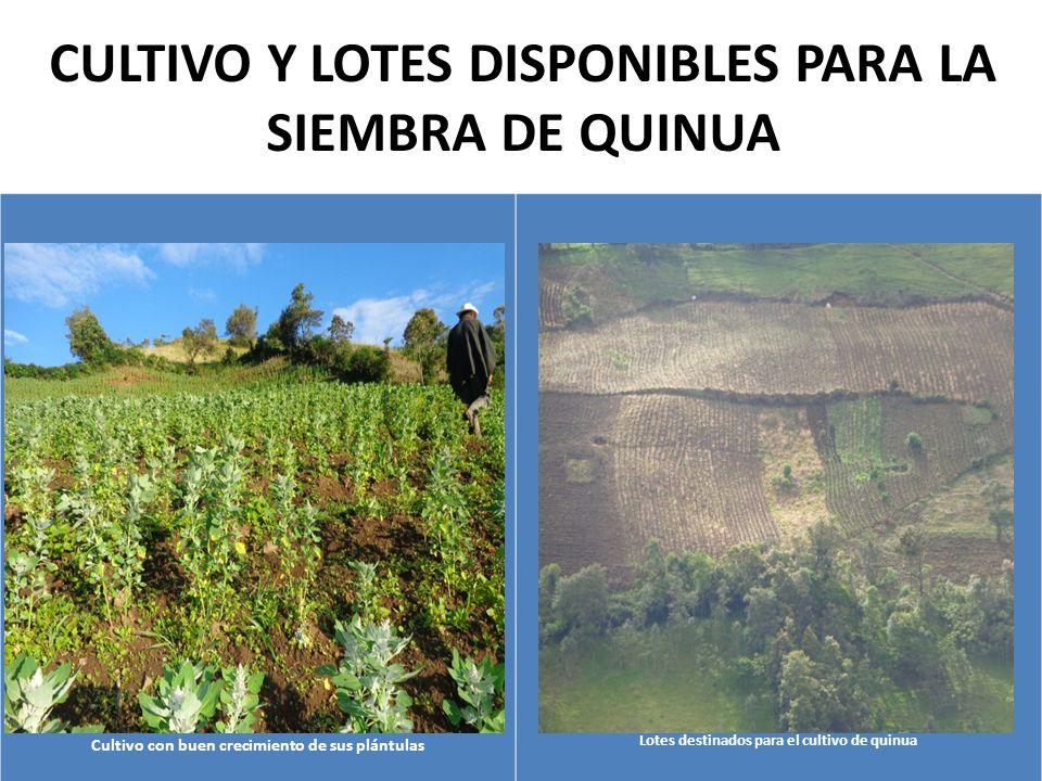 CULTIVO Y LOTES DISPONIBLES PARA LA SIEMBRA DE QUINUA Cultivo con buen crecimiento de sus plántulas Lotes destinados para el cultivo de quinua