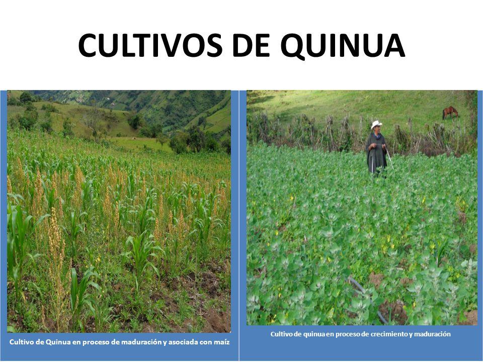 CULTIVOS DE QUINUA Fotografía Número 21 Cultivo de Quinua en proceso de maduración y asociada con maíz Fotografía Número 22 Cultivo de quinua en proceso de crecimiento y maduración
