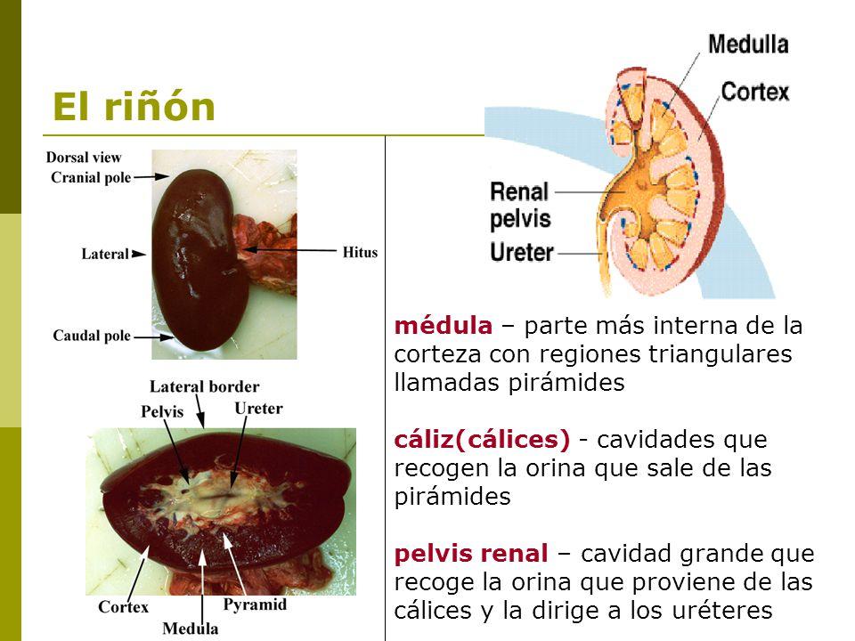 Dorable Anatomía Externa De Cerdo Fetal Elaboración - Anatomía de ...