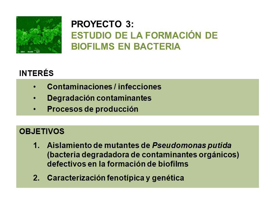 INTERÉS Contaminaciones / infecciones Degradación contaminantes Procesos de producción OBJETIVOS 1.Aislamiento de mutantes de Pseudomonas putida (bacteria degradadora de contaminantes orgánicos) defectivos en la formación de biofilms 2.Caracterización fenotípica y genética PROYECTO 3: ESTUDIO DE LA FORMACIÓN DE BIOFILMS EN BACTERIA