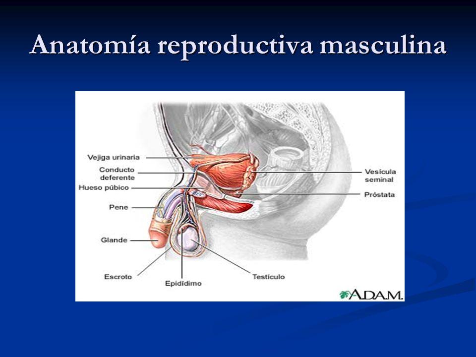Anatomía reproductiva masculina