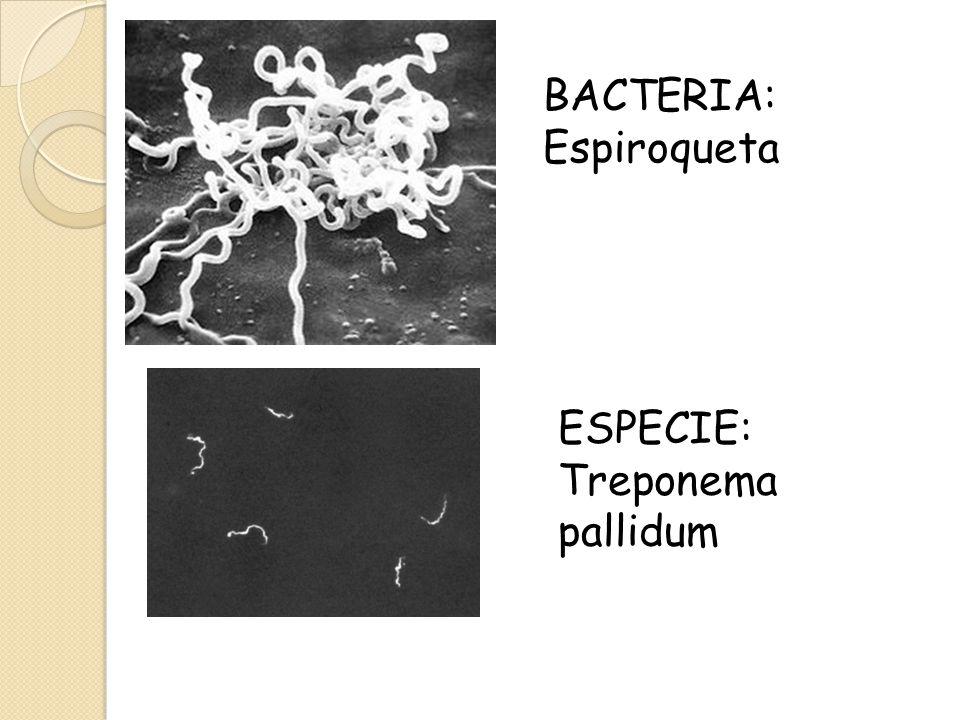 BACTERIA: Espiroqueta ESPECIE: Treponema pallidum