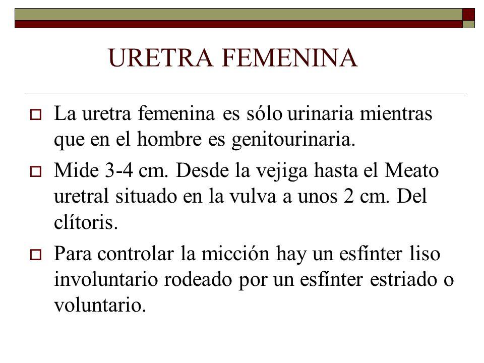 URETRA FEMENINA  La uretra femenina es sólo urinaria mientras que en el hombre es genitourinaria.