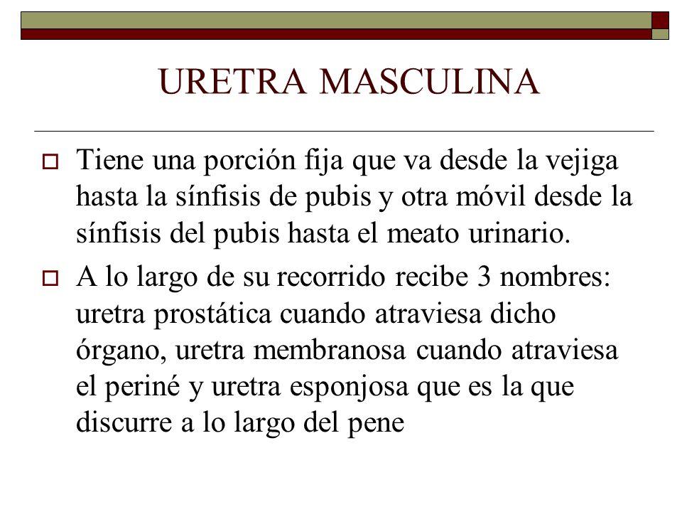 URETRA MASCULINA  Tiene una porción fija que va desde la vejiga hasta la sínfisis de pubis y otra móvil desde la sínfisis del pubis hasta el meato urinario.
