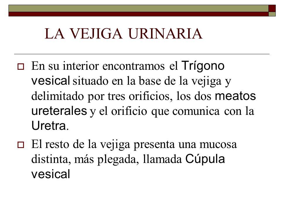 LA VEJIGA URINARIA  En su interior encontramos el Trígono vesical situado en la base de la vejiga y delimitado por tres orificios, los dos meatos ureterales y el orificio que comunica con la Uretra.