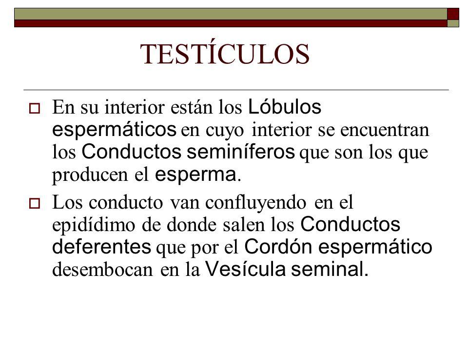 TESTÍCULOS  En su interior están los Lóbulos espermáticos en cuyo interior se encuentran los Conductos seminíferos que son los que producen el esperma.