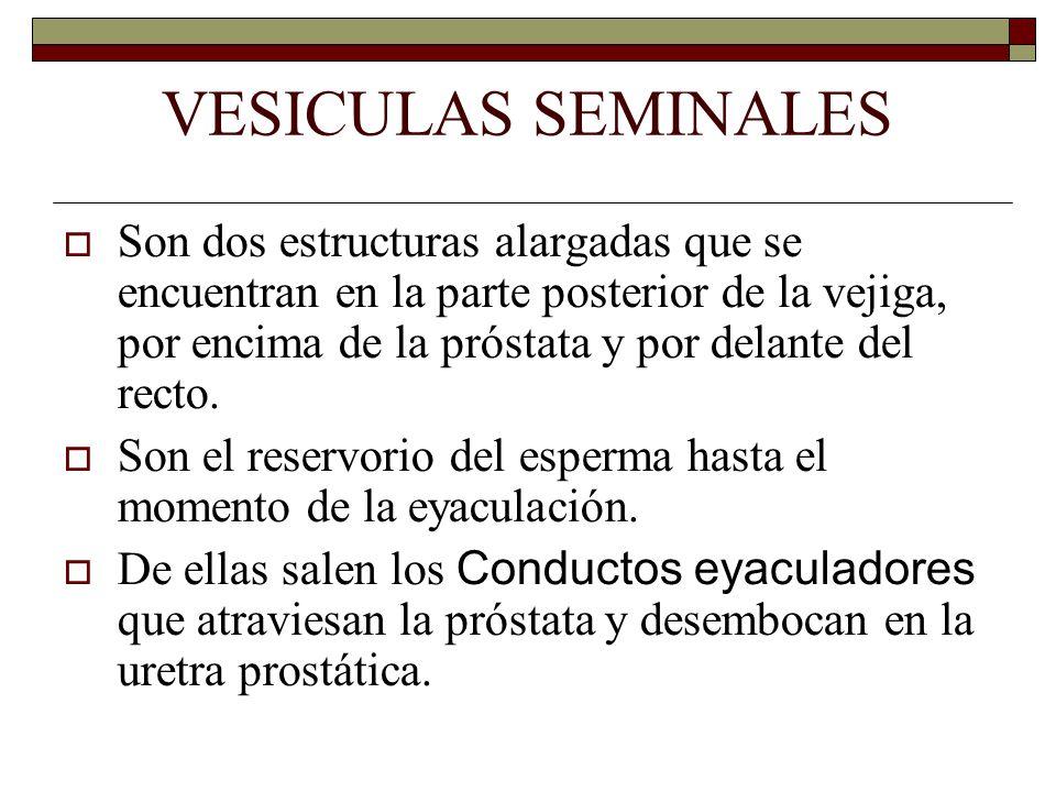 VESICULAS SEMINALES  Son dos estructuras alargadas que se encuentran en la parte posterior de la vejiga, por encima de la próstata y por delante del recto.