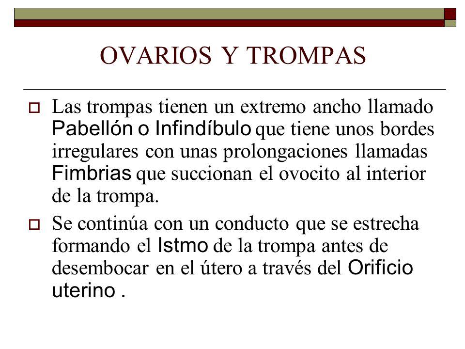 OVARIOS Y TROMPAS  Las trompas tienen un extremo ancho llamado Pabellón o Infindíbulo que tiene unos bordes irregulares con unas prolongaciones llamadas Fimbrias que succionan el ovocito al interior de la trompa.