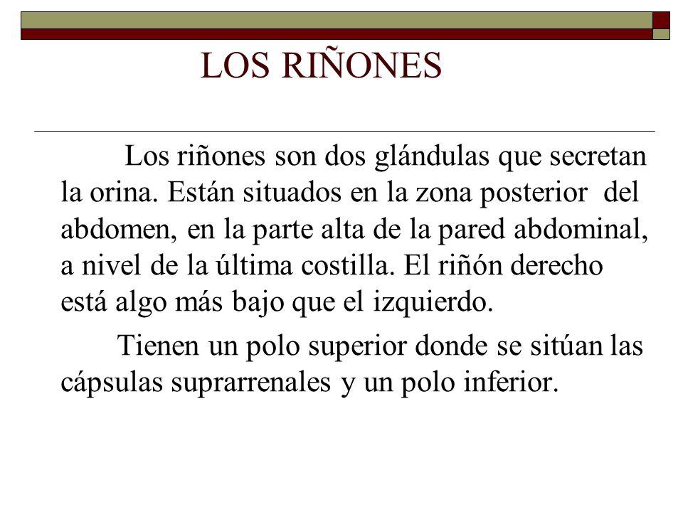 LOS RIÑONES Los riñones son dos glándulas que secretan la orina.